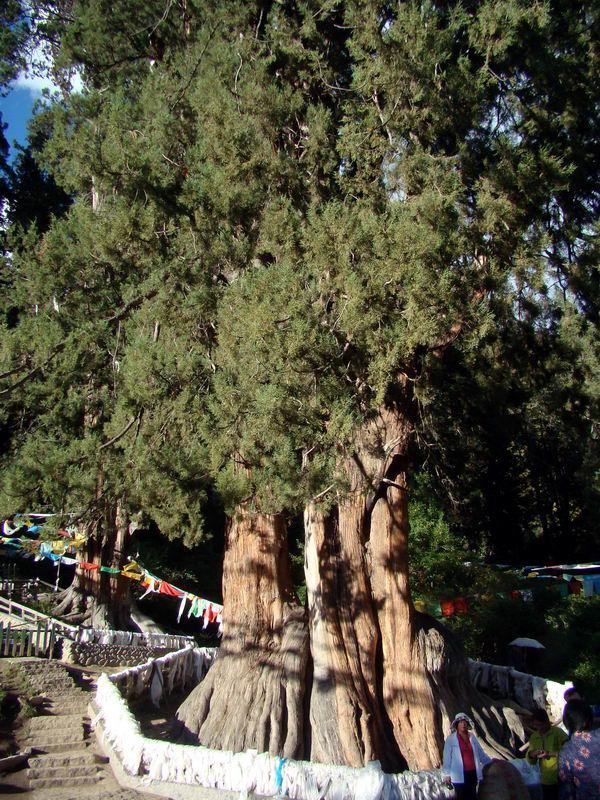 Tall and straight Juniperus Tibetica