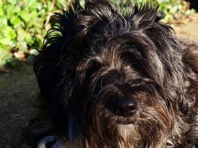 Tibetan Terrier-
