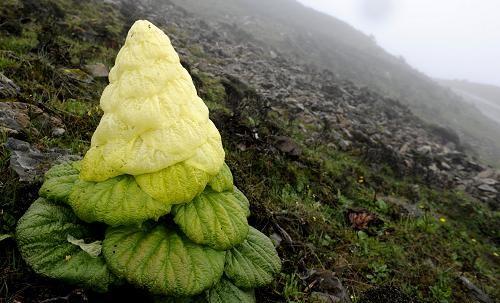 A Giant Alpine Plant-Rheum Nobile | Explore Tibet