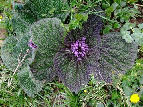 Lamiophlomis Rotate- a kind of Renascent Herb
