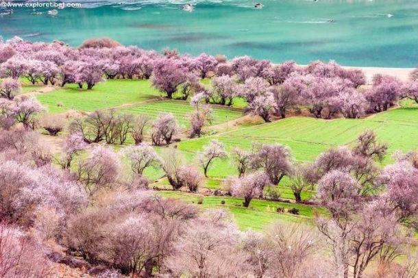 Nyingchi Peach Blossom Festival 2019