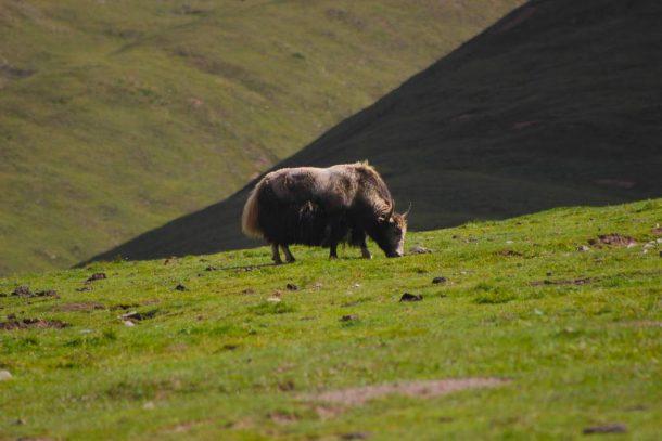 The Tibetan Yak – The Backbone of Tibetan Lifestyle in Tibet