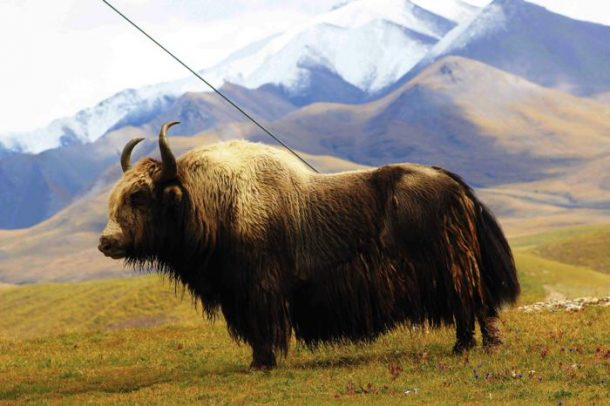 The Tibetan Yak – The Backbone of Tibetan Lifestyle in Tibet