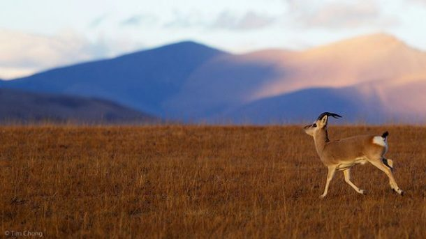 The Antelopes of the Tibetan Plateau -Chiru and Goa