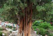 2500 year old Cypress tree