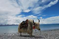 11-White-yak-at-Namtso-lake