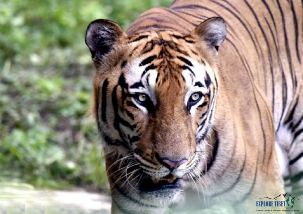 The rare Bengal tiger is the 2nd largest wild cat in the world