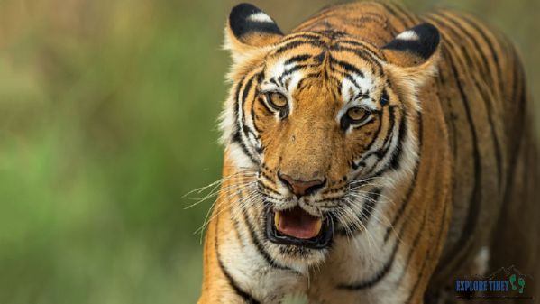 The Bengal tiger is an endangered species on the IUCN Red List