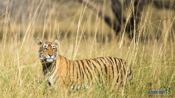 Bengal tigers live mostly in Asian countries such as Bangladesh, Bhutan, India, Myanmar, Nepal and China.