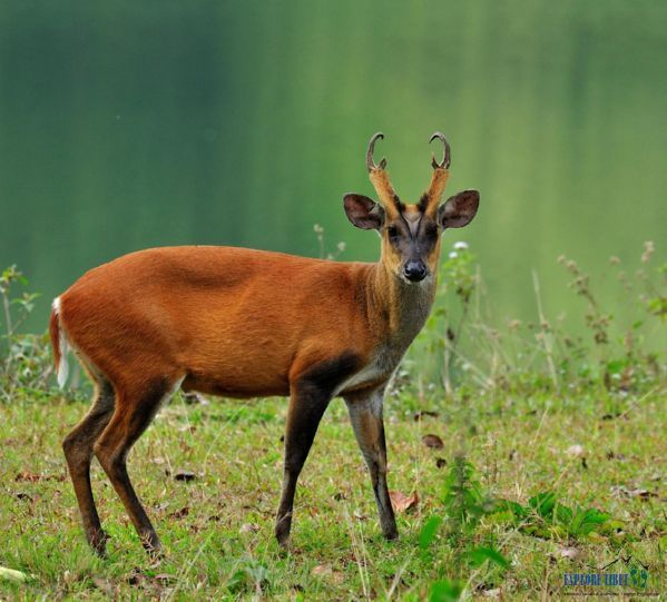 Barking Deer are the ideal prey for the tigers in Medog